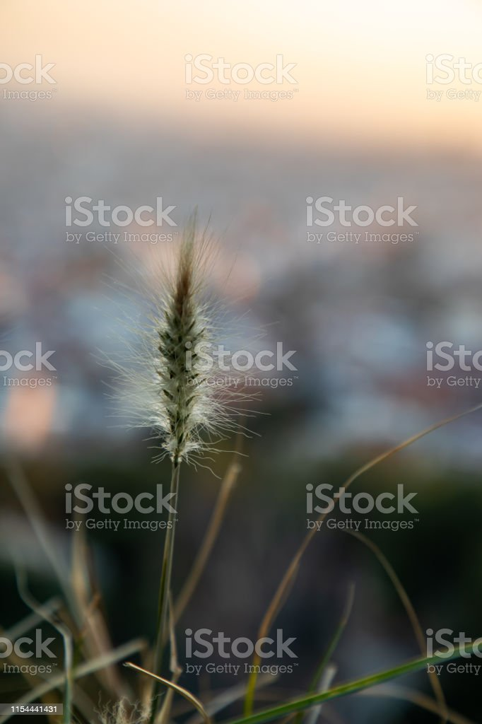 Dry plant focused on foreground with blurred city on the background...