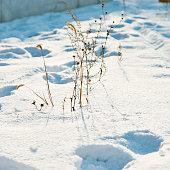 Dry plant on the snow ground.