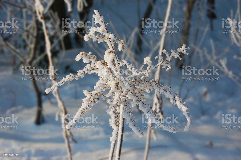 Dry plant under snow stock photo