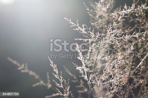 Dry plants in hoarfrost with bokeh against morning sunlight
