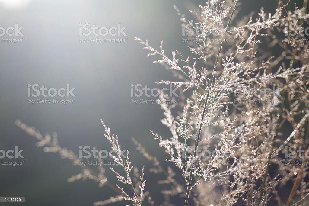 Dry plants in hoarfrost with bokeh against morning sunlight stock photo