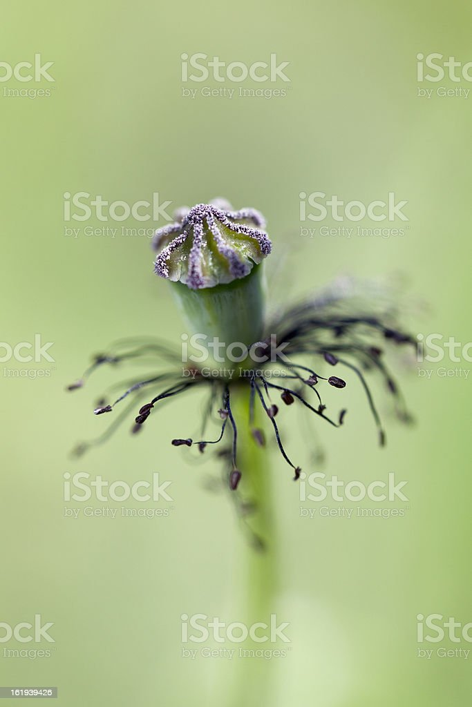 Dry poppy flower stock photo more pictures of close up istock dry poppy flower royalty free stock photo mightylinksfo Gallery