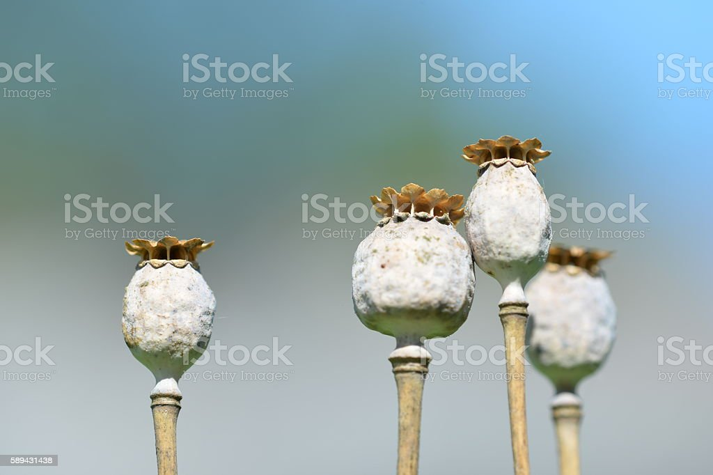 Dry poppy heads in the garden close up stock photo more pictures dry poppy heads in the garden close up royalty free stock photo mightylinksfo