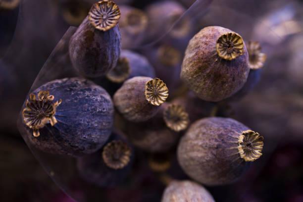 papoula seco roxo e cinza - papoula planta - fotografias e filmes do acervo