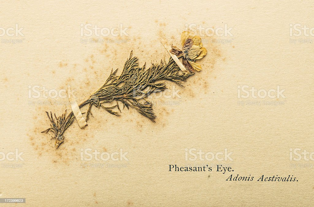 dry pressed real plant royalty-free stock photo