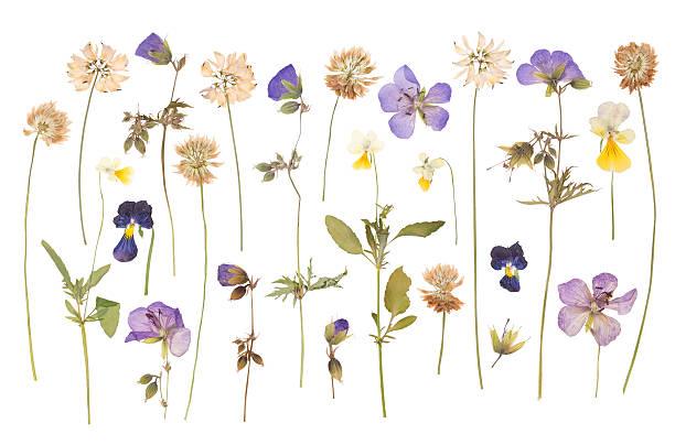 Dry pressed wild flowers picture id601004564?b=1&k=6&m=601004564&s=612x612&w=0&h=wkky2dfntz5xzvwtwoox5gpno  mf2dw3lfo1enj du=