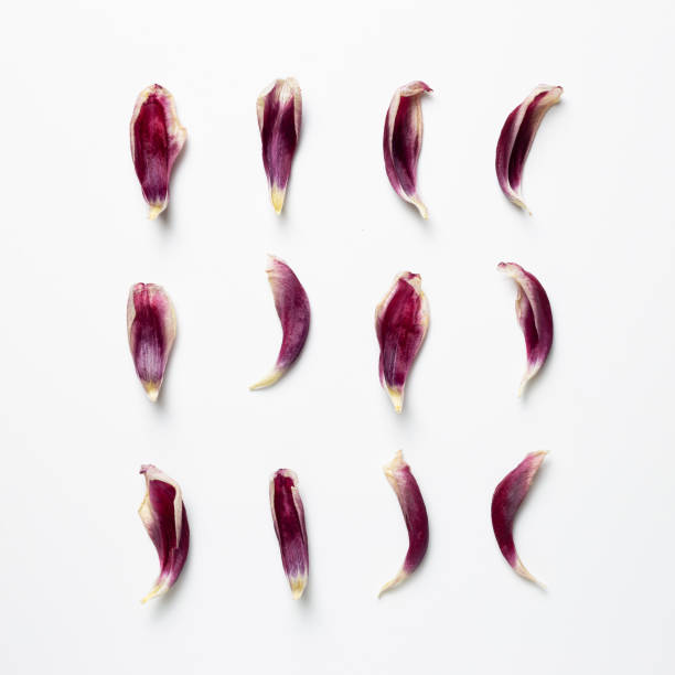 Dry purple tulip flower petals on white background. Floral composition, flat lay, top view, copy space stock photo
