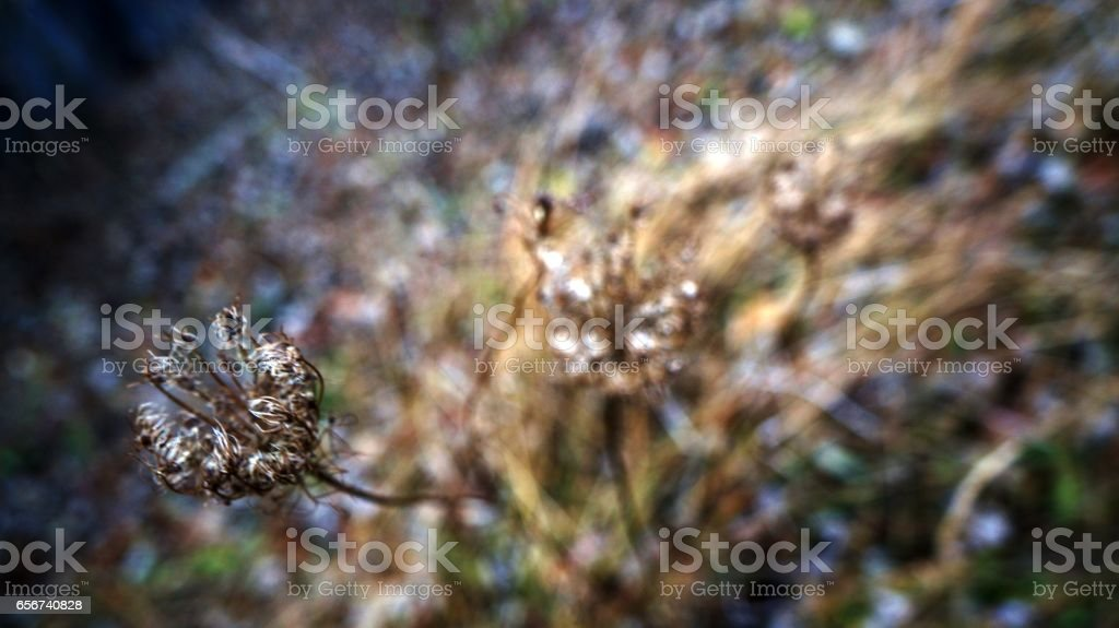 Dry Queen Anne's Lace Flowers stock photo