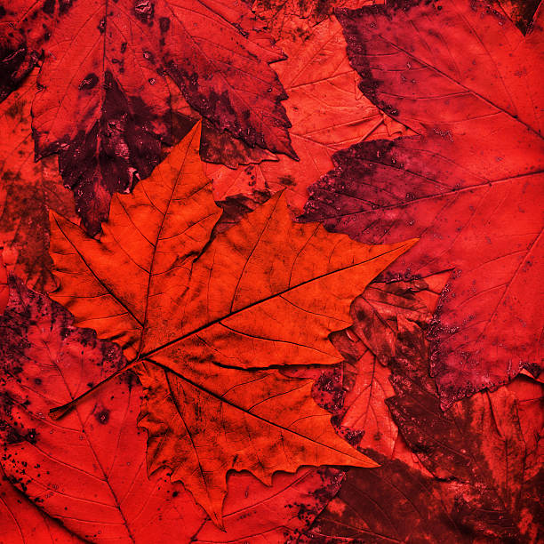 Dry Red Maple Leaf Isolated On Autumn Foliage Backdrop stock photo