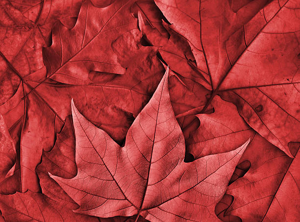 maple leaf canadian maple leaf pictures images and stock photos istock