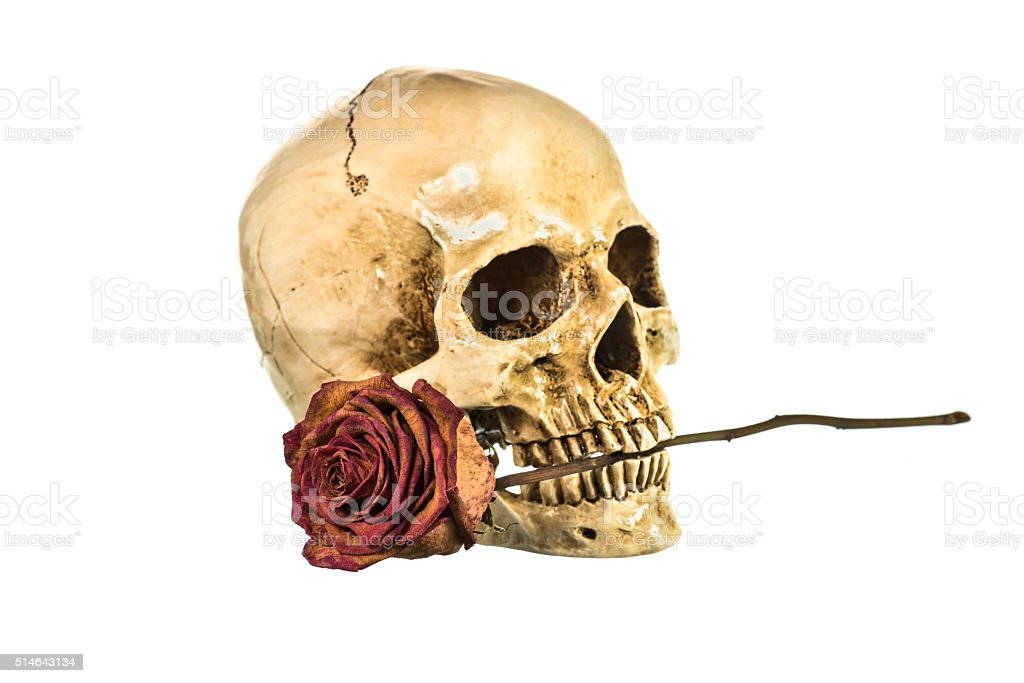 Dry red rose in teeth of human skull on white stock photo