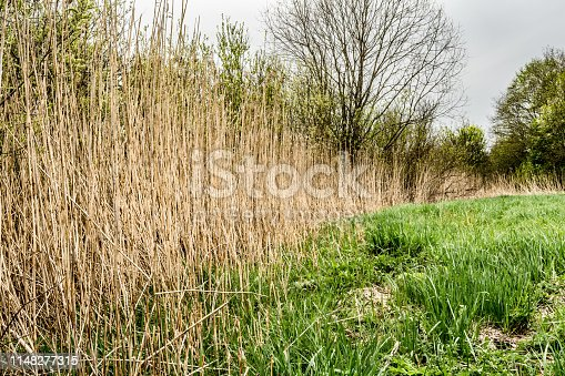 Dry reed and green grass. Reeds of grass. Green meadow with blooming high grass. Grass background. Rural scenery.