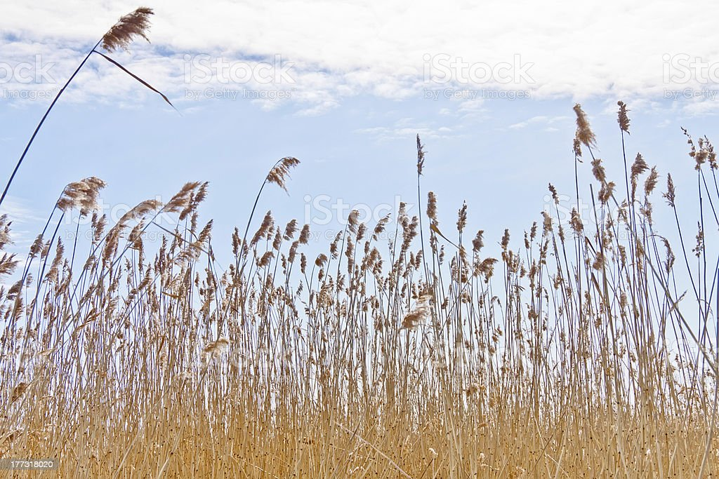 Dry reeds royalty-free stock photo