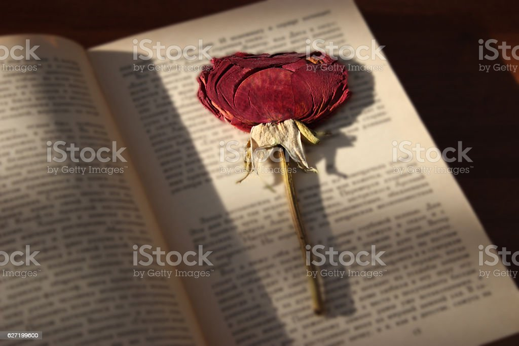 dry rose book stock photo