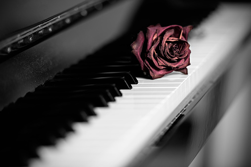 Dry rose over grand piano keys