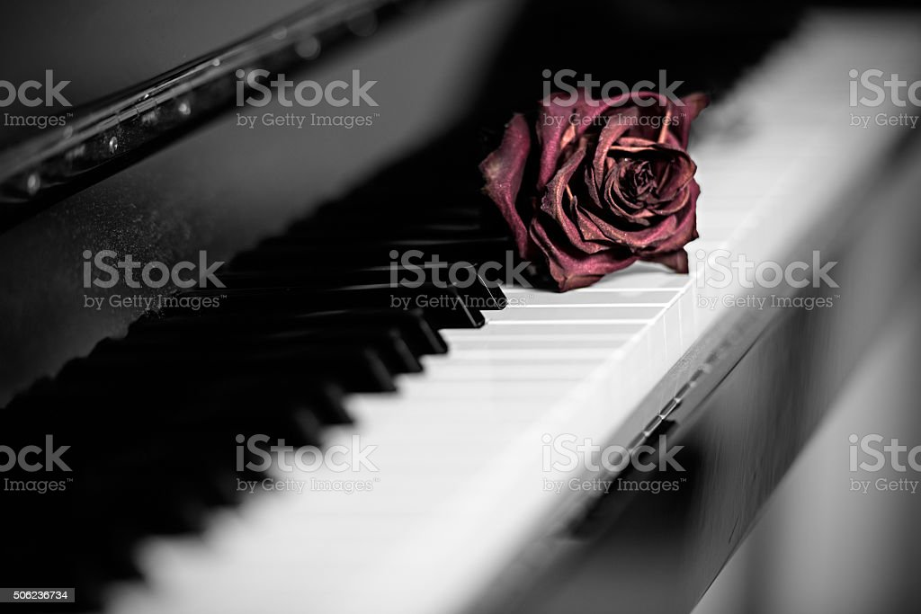 Dry rose over grand piano keys stock photo