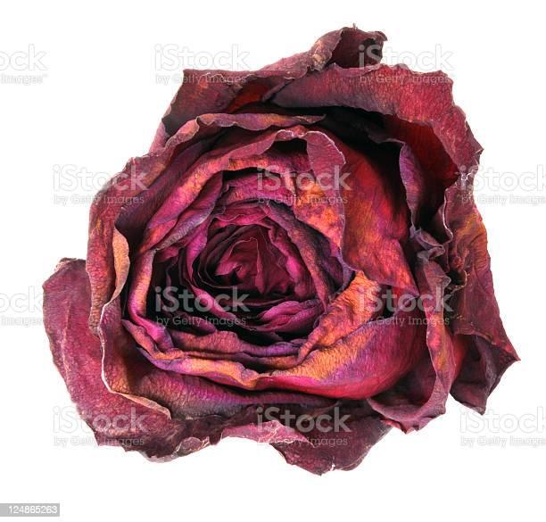 Dry rose picture id124865263?b=1&k=6&m=124865263&s=612x612&h=gqtaimqwsiyf dwr ougbldbp9xiw5oymwbxvdecudy=