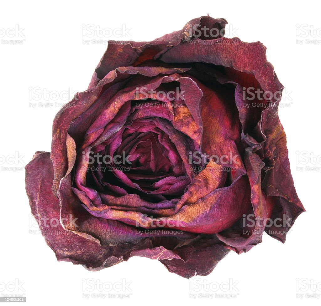 Dry rose stock photo