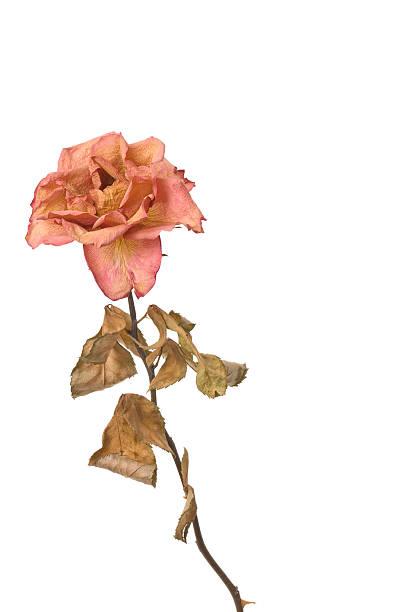 dry Rose – Foto