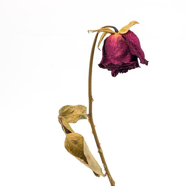 rosa seco - planta morta imagens e fotografias de stock
