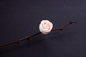 Dry rose trunk with a pink bud and thorns on a black background. Concept of hope and faith