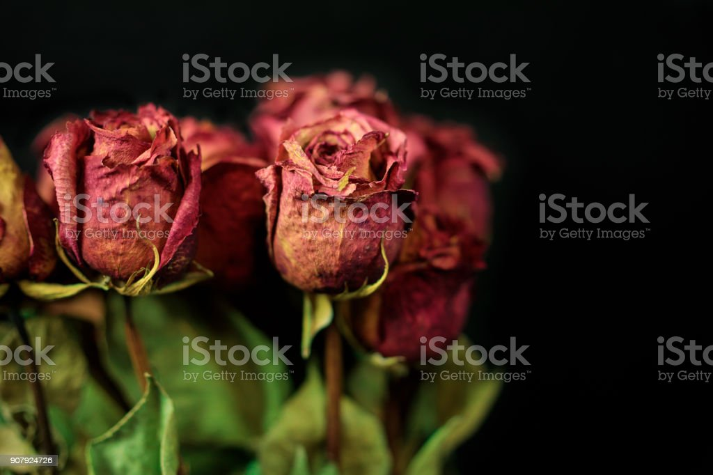 Dry Roses on Black stock photo