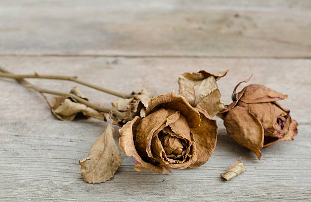 dry roses - dead plant stock photos and pictures