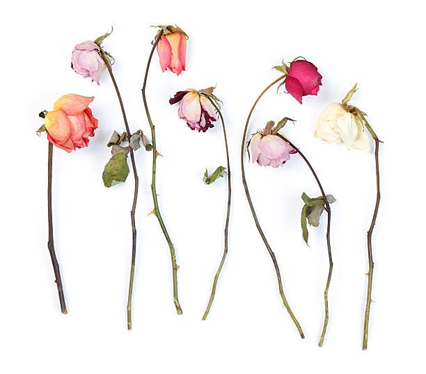rosas secas - planta morta imagens e fotografias de stock