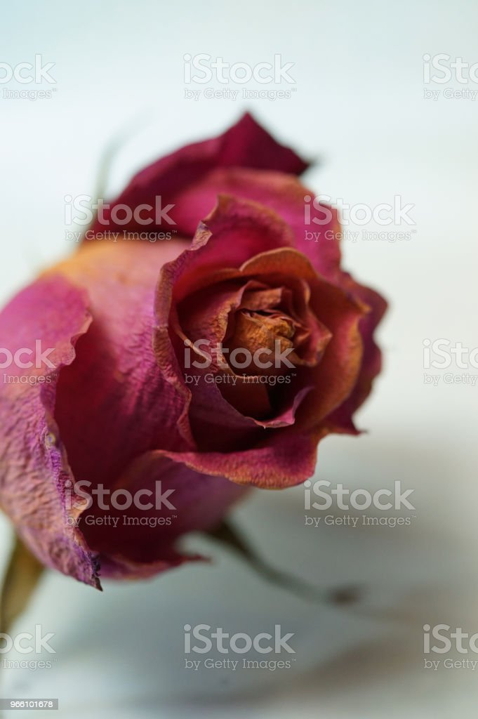dry roses - Royalty-free Aging Process Stock Photo