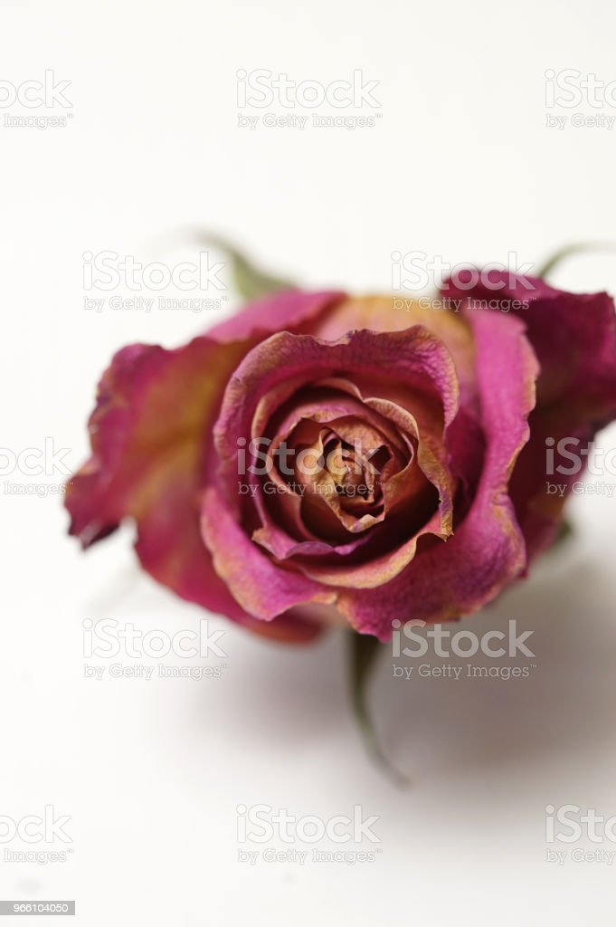 dry Rosen - Lizenzfrei Abgestorbene Pflanze Stock-Foto