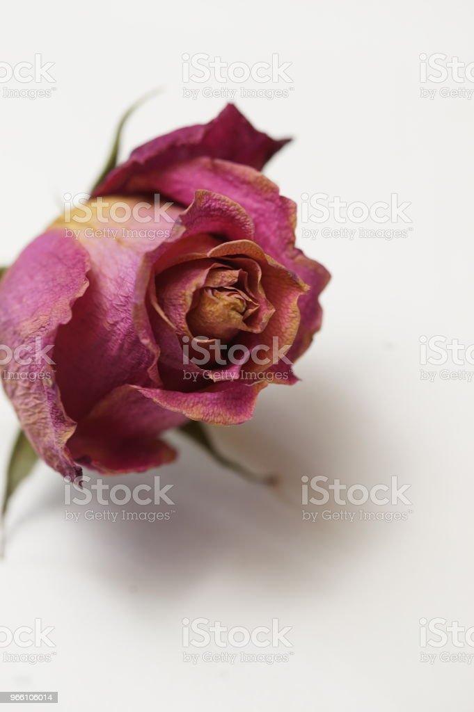 dry roses - Royalty-free Amarelo Foto de stock