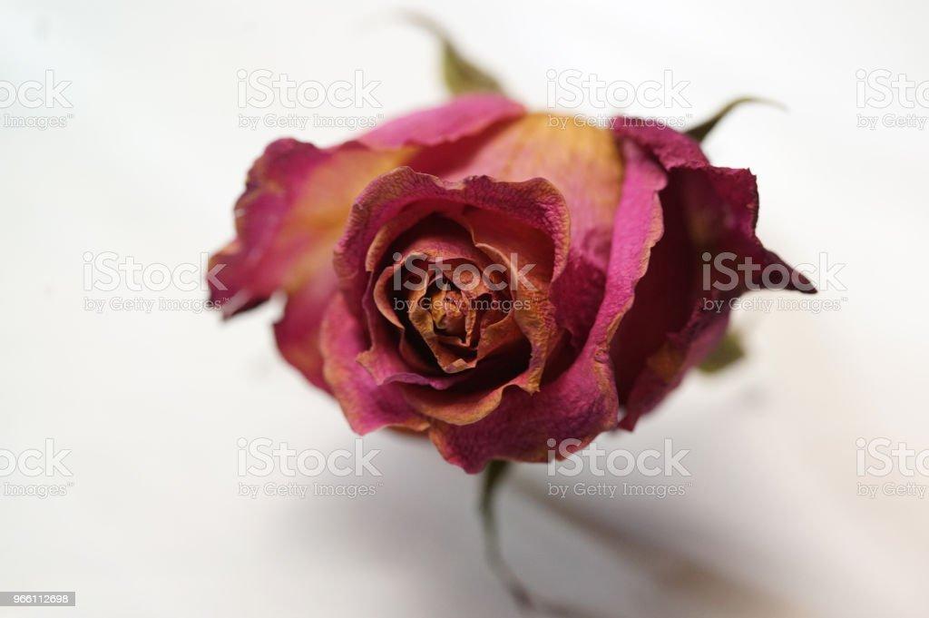 droge rozen - Royalty-free Blad Stockfoto