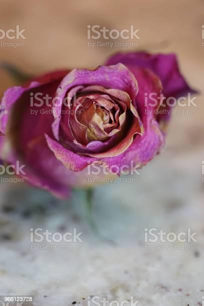 Dry Rosen Stockfoto und mehr Bilder von Abgestorbene Pflanze