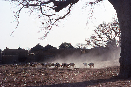 Dry season backlit sillouette shadow view of sheep returning to village through dust below leafless Baobab tree and huts in background Yatenga Burkina Faso Africa