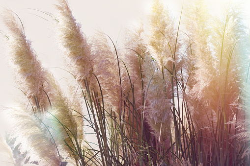 Dry seds of reed - cane, dry reed, dry cane in meadow - beautiful nature in autumn