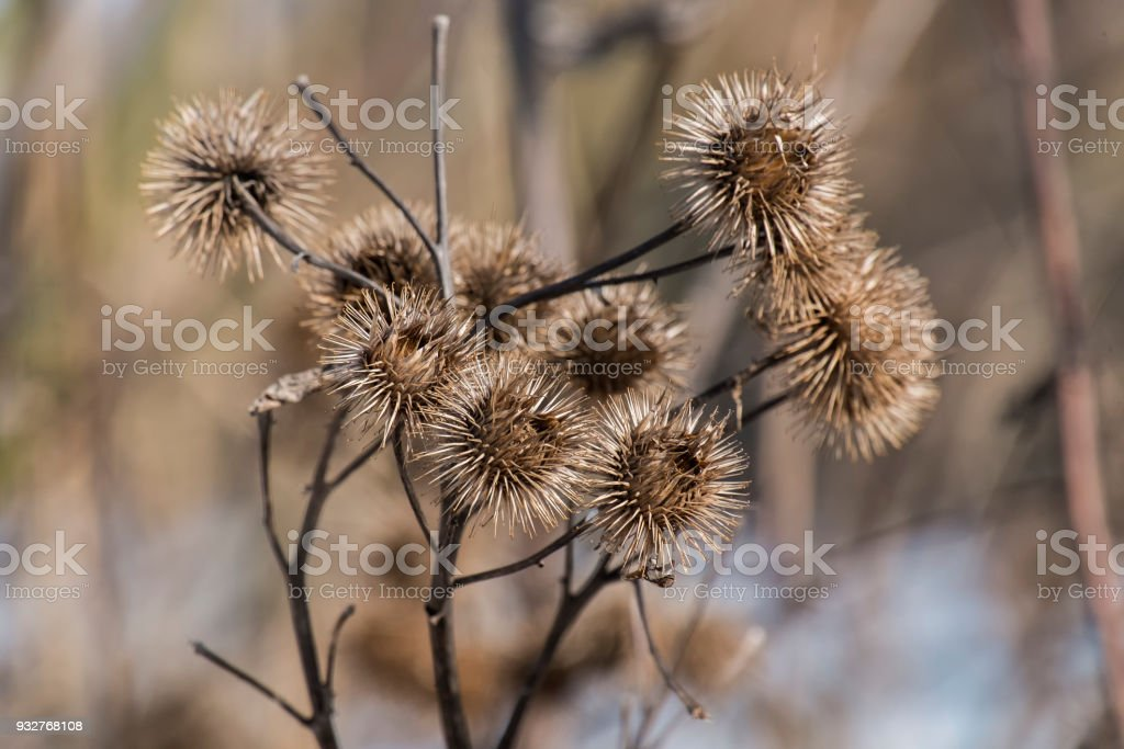 Dry spines of greater burdock (Arctium lappa) stock photo