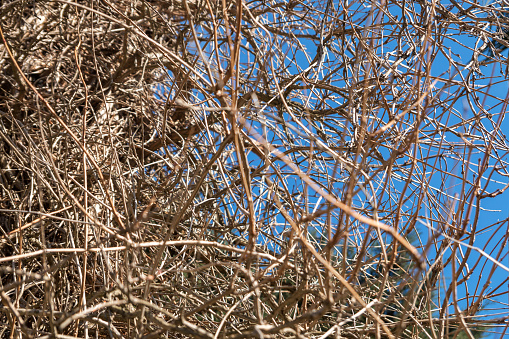 Dry spruce branches. Background of gray dead trees. Pattern.