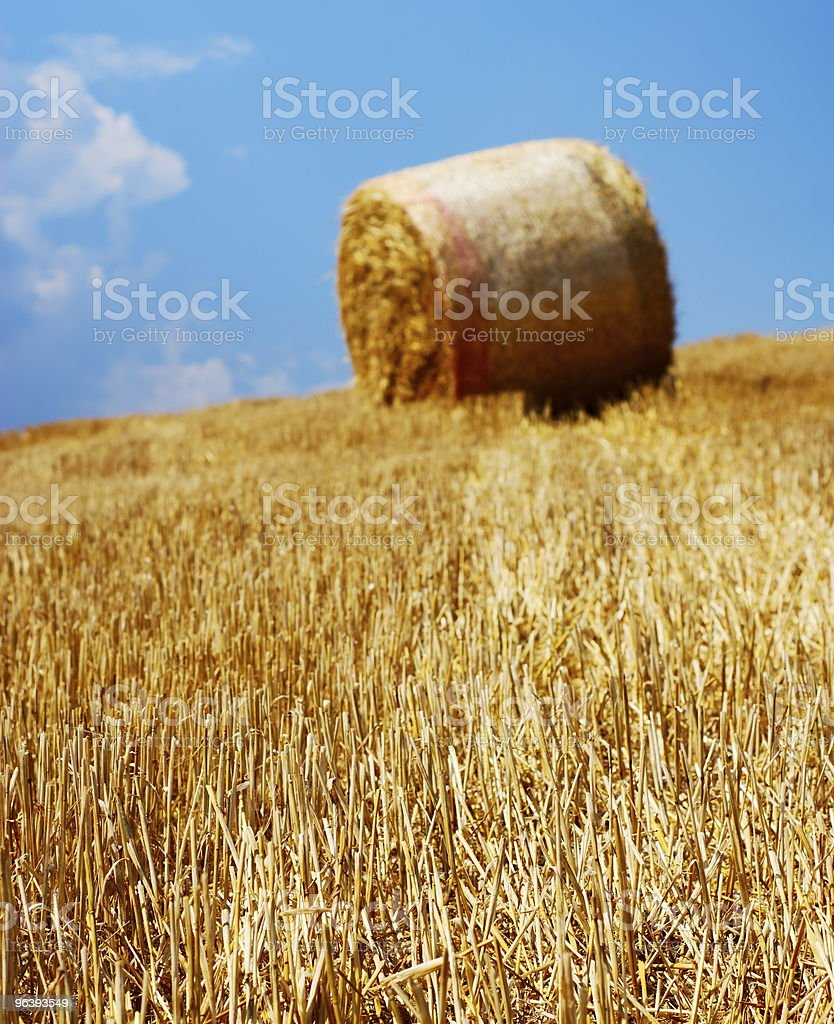 Dry stems in sunlight - Royalty-free Agricultural Field Stock Photo