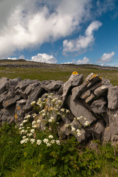 Dry Stone Wall with Flowers on Path Below Dun Aonghasa, Inishmore The view is looking southwest from the path leading to Dun Aonghasa in springtime.  We see here dry stone wall of limestone laid in a pattern suggestive of herringbone, splotches of orange lichen mark the stones.  Against the wall is growing a variety of plants.  The prominent white flowers are Greater Burnet saxifrage (Scientific Name: Pimpinella major) (Irish Name: Coll an dromain).  Beneath are leaves of Wild Strawberry (Scientific Name: Fragaria vesca) (Irish Name: Su talun fiain) as well as fern and grass.  Beyond the wall is karst landscape rising to the ridge.  Above the ridge, storm clouds gather.  Inishmore, Aran Islands, County Galway, Ireland. michael stephen wills aran stock pictures, royalty-free photos & images