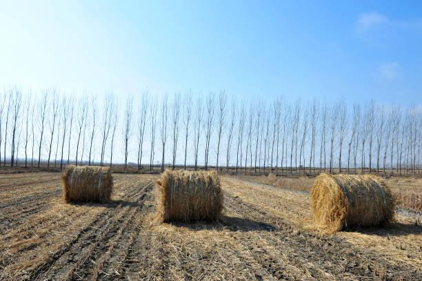 Dry straw group – zdjęcie