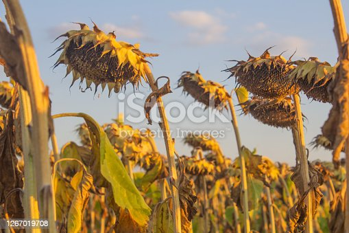 Heads of dry sunflowers in an autumn field at sunset