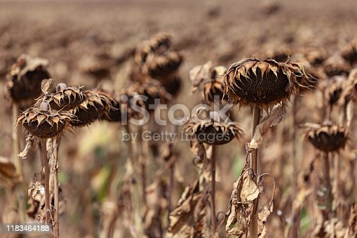 Wilted dry sunflowers in field. No people are seen in frame. Selective focus on small group of flowers. Shot with a full frame DSLR camera.