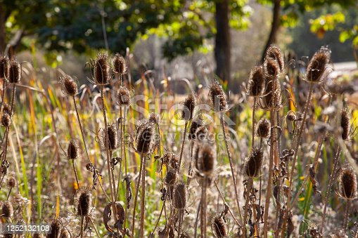 dried out thistle heads standing tall and backlit by the sun