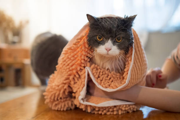 Seque o gato após o chuveiro. - foto de acervo