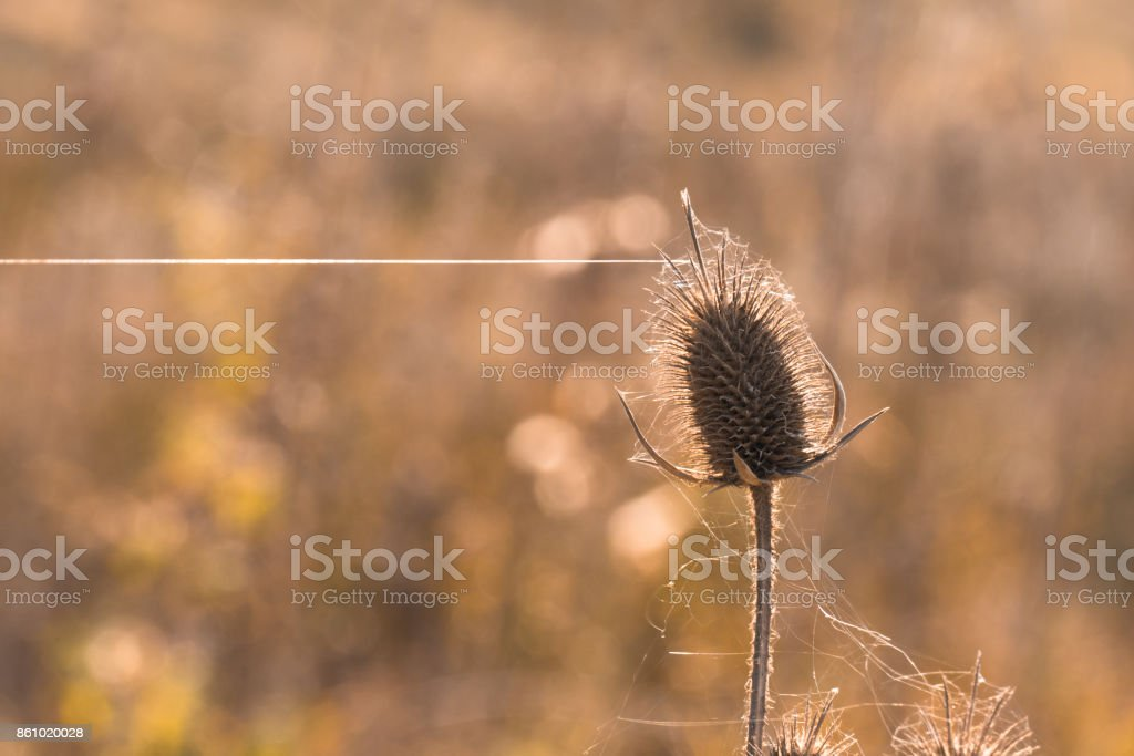 Dry thorn in cobweb, close-up stock photo