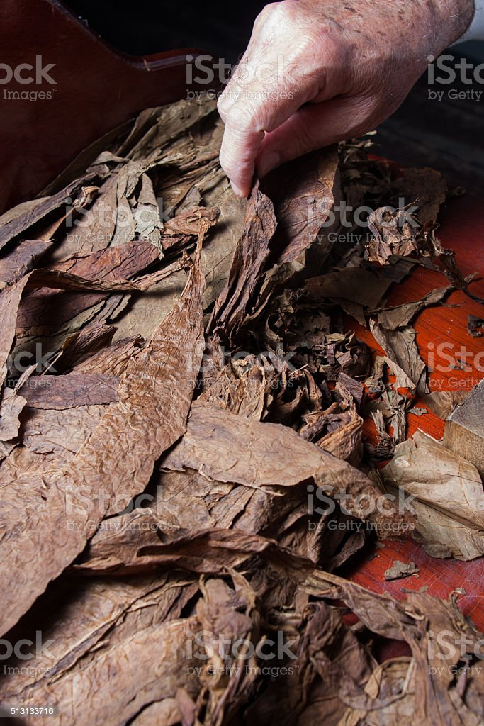 dry tobacco leaves prepared for rolling cigars stock photo