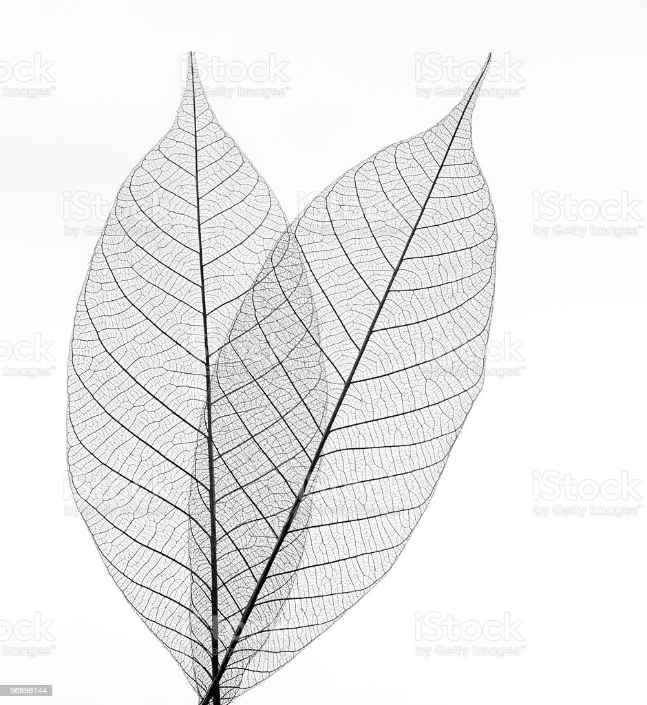 Dry transparent leaves isolated on white royalty-free stock photo