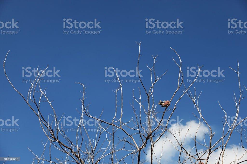 Secar árbol contra el cielo azul foto de stock libre de derechos