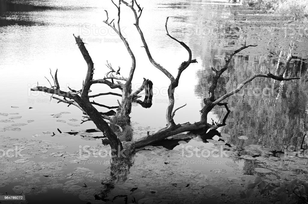 Dry tree in park pond background royalty-free stock photo