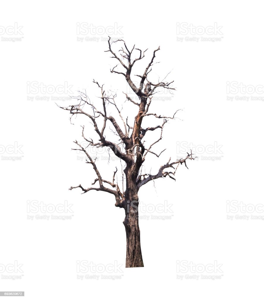 Arbre sec isoler sur fond blanc - Photo